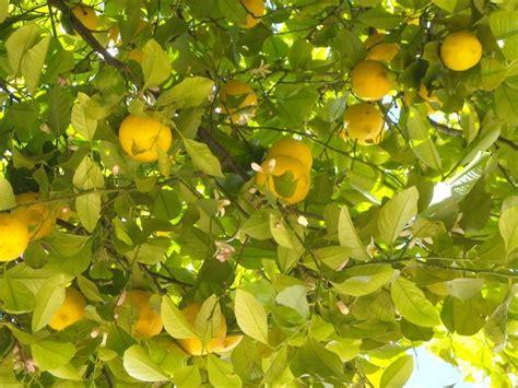 come potare il limone in vaso come potare il limone potatura coltivare limone