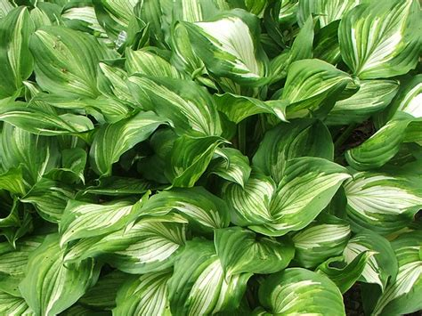 foliage plants names hostas