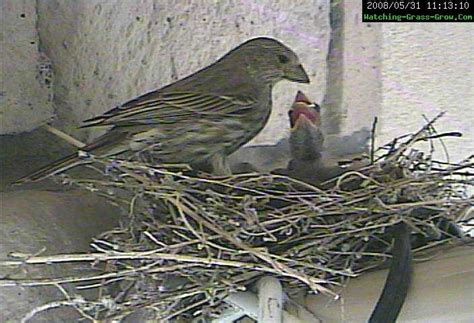 additional pictures videos of house finch bird nest