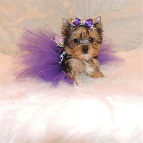 miniature yorkie mini terrier puppy for sale teacup yorkies sale