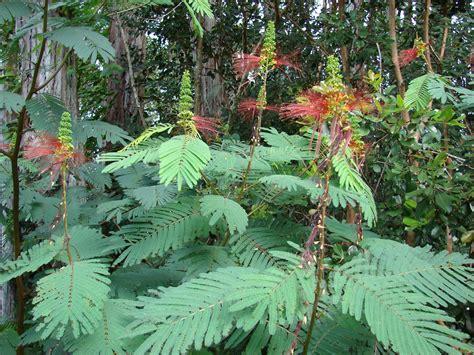 images of plants calliandra calliandra calothyrsus feedipedia