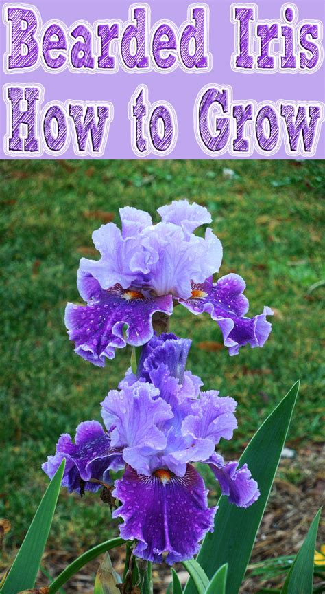 how to grow bearded iris quiet corner