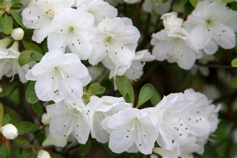 White Azalea file rhododendron white gumpo jpg wikimedia commons