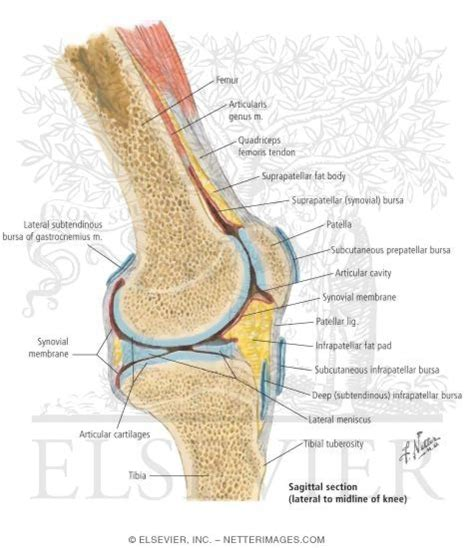 sectional view of the knee joint sagittal knee