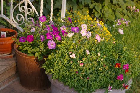 who planted petunias in my front porch pots