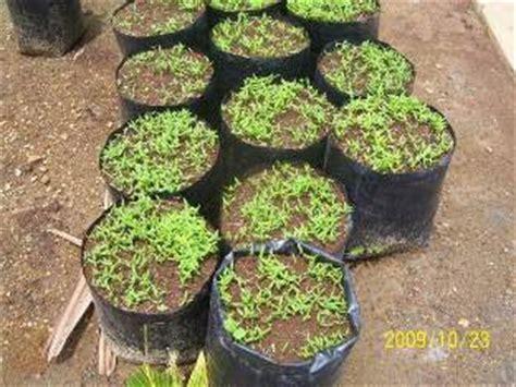 Bibit Cabe Cakra cara menyemai benih cabai rawit