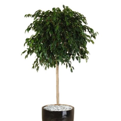 Low Light Tropical Plants - plant info weeping fig topiary indoor plants tropical plant rentals