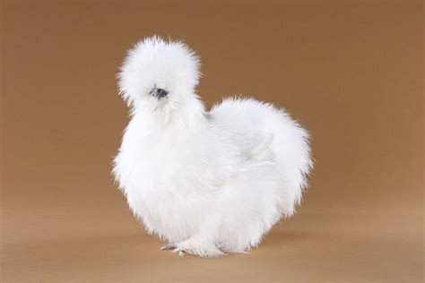 silky white how many people on here breed silkies page 6