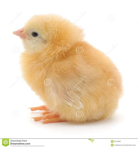 small chicken small chicken stock image image 33116591