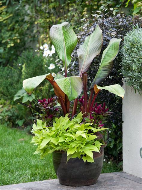stauden pflanzen growing banana plants hgtv