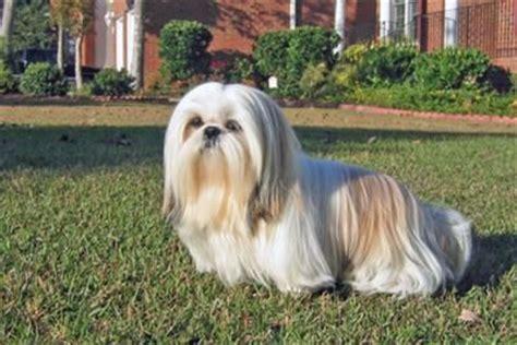 shih tzu haircut names shih tzu grooming shih tzu haircuts puppy cut i shih tzu not