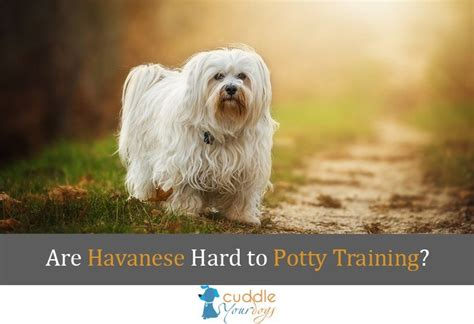how to potty a havanese puppy house a havanese puppy dogs in our photo