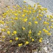fiore elicriso elicriso fitoterapia coltivare l elicrisio