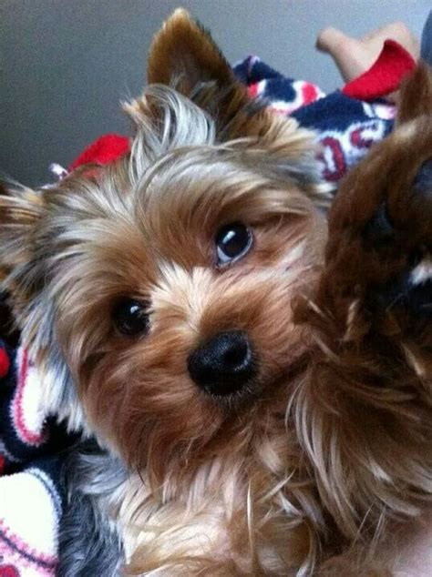 teacup silky terrier puppies for sale 17 best images about australian silky terrier puppies on terry o quinn