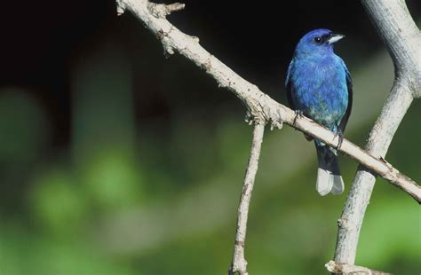 how to attract indigo buntings to your backyard how to attract new bird species