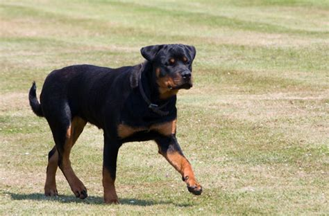 facts about rottweiler puppies rottweiler information facts about a strong and intelligent breed infobarrel