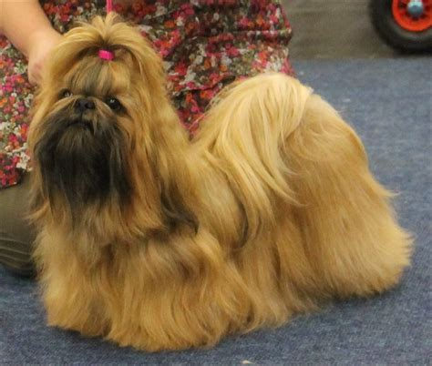 how is a shih tzu shih tzu rassen honden hondenrassen
