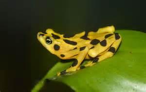 Golden Frog Threat The Panamanian Golden Frog A Z Animals