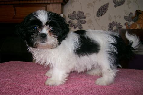 shih tzu 4 sale shih tzu puppys for sale rugeley staffordshire pets4homes