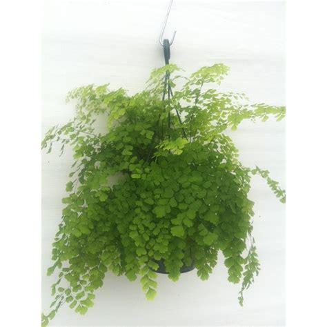 engelshaar pflanze indoor fern identification related keywords indoor fern