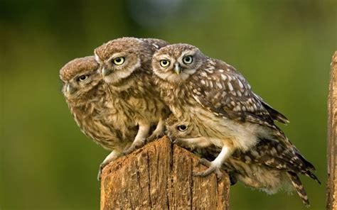 screech owl bird hd images wallpapers download