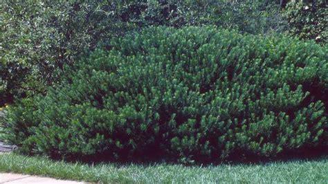Cephalotaxus Duke Gardens by Jc Raulston Arboretum 2015 Jcra Plant Sale
