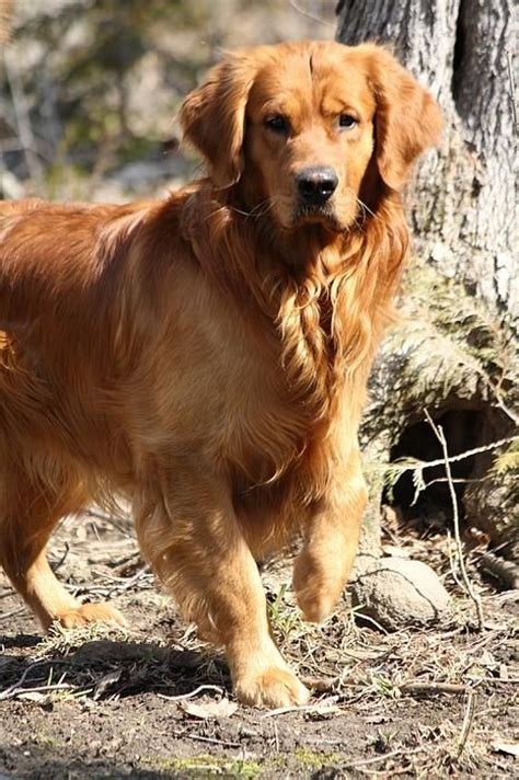 protective golden retriever golden retriever maximus he s protective of the younger ones ally and benjamin