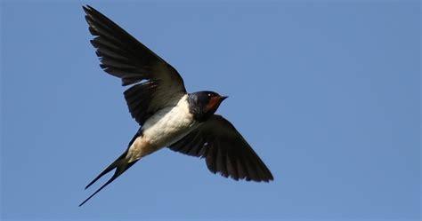 Cd Suara Walet Koloni Dalam suara burung walet terbaik gratis terbaru burung walet kalimantan