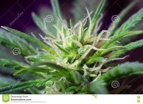 fiore di cannabis fiori della cannabis fotografia stock immagine 77874953