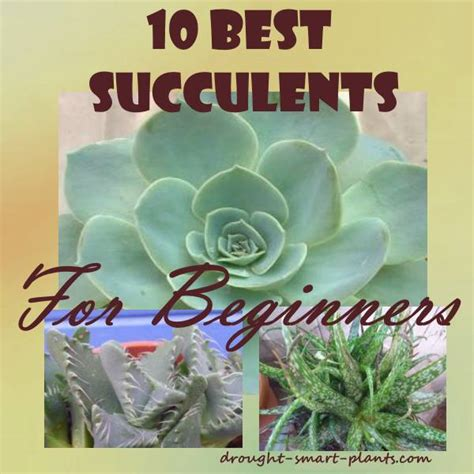 10 best succulents for beginners easy low maintenance