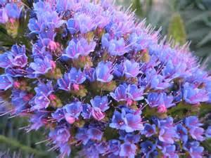 periwinkle flowers kookoo sabzi flickr