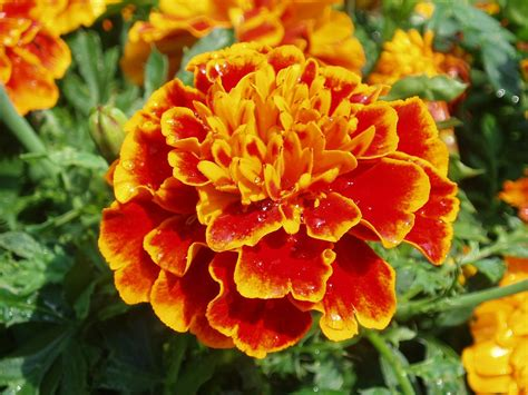 marigold color marigold seeds decker rd seeds