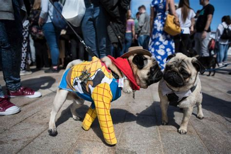 celebrating pugs and pups pug dogs and their owners attend pugfest manchester