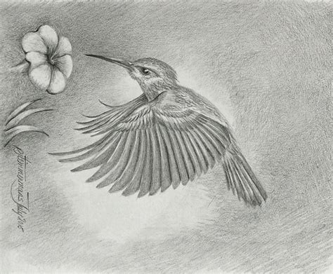 how to draw a hummingbird on a flower pictures hummingbird on flowers drawing drawings gallery