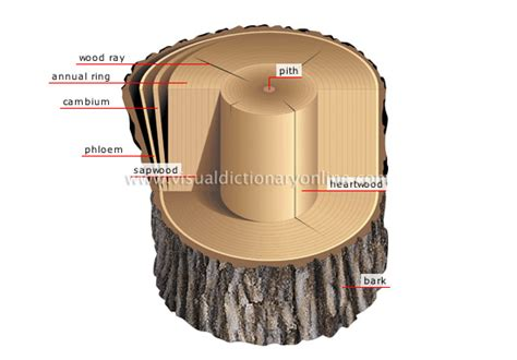 cross section of a tree trunk jacob painschab cmap tree structures how do trees