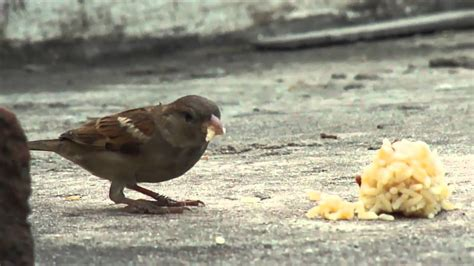 sony cyber shot dsc h55 sparrow eating rice youtube