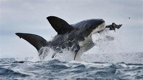 imagenes impresionantes de tiburones tremendo as 237 ataca un tibur 243 n info taringa