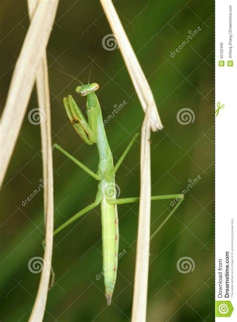 Grass Scientific Name by Mantis Nymph Stock Photo Image 42122456