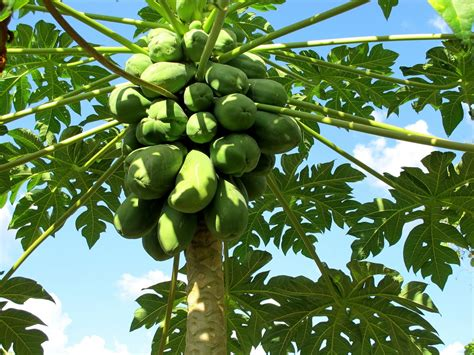 Paw Paw the adventures of andrea and salvador the story of the paw paw papaya tree