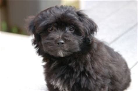 reputable havanese breeders top business the difference between reputable breeders and puppy mills