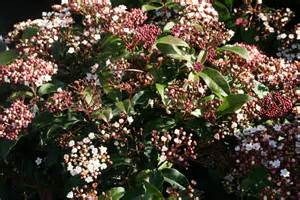 Tall Flowering Shrubs For Shade - viburnum tinus laurustinus 8 quot pot hello hello plants amp garden supplies