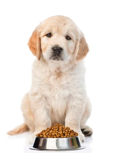 food golden retriever best food for golden retrievers 5 vet recommended brands top tips