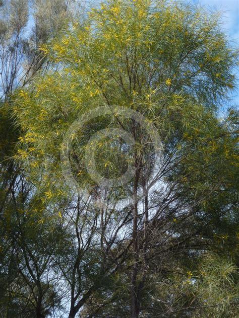 acacia acuminata raspberry jam tree information
