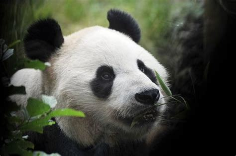 britains lone female giant panda   pregnant