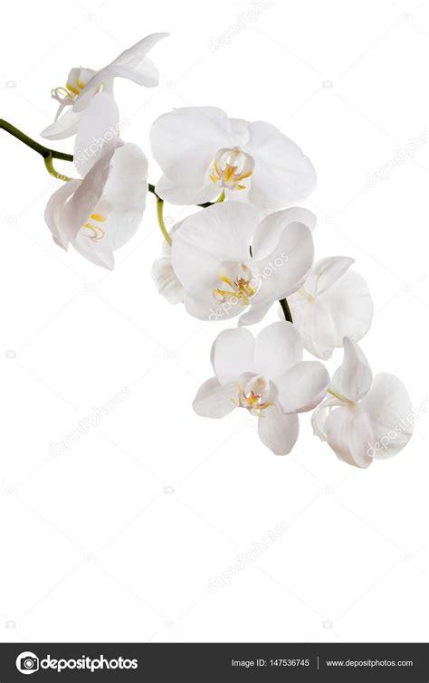 immagini fiori orchidee fiori delle orchidee bianche foto stock 169 02irina 147536745