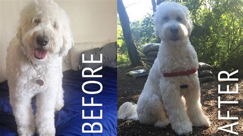 how to cut a goldendoodles hair decker gets a haircut goldendoodle at home puppy cut