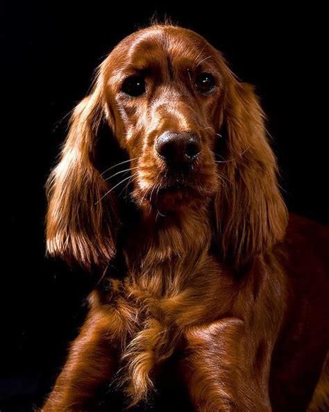 irish setter dog time 126 best irish setter images on pinterest irish irish