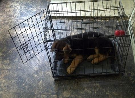 crate training a puppy with another dog in the house german shepherd training without a professional trainer shepped com