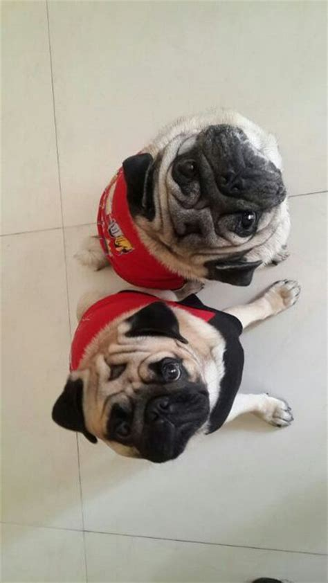 dress up pug 2205 best images about and awesome pugs on pug brindle pug and