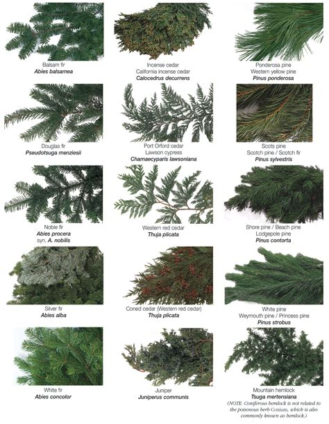 botanical trees tree types 1 landscaping pinterest types of evergreen trees the tree center